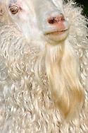 """Mohair goat (Capra hircus aegagrus), portrait, mohair goat also called Angora goat is a breed of domestic goat that originated in Ankara (formerly known as Angora) and its surrounding region in central Anatolia, The mohair goat is pure white with long, silky, curly hairs. Angora goats produce the fibre known as Mohair. Mohair wool is very light and that's why very valuable. The famous Kid Mohair (first and second shearing of a lamb) is still much finer than the wool of the adult animals. Angoras are shorn twice a year. The long-stranded, shiny, curly wool felts and soils hardly and is easy to clean. Mohair breathes, can absorb, store and give up liquid. It is very durable, antistat and flame-resistant. As downy hairs undercoat are called. They haven't medullary canal, which is necessary for isolation of the animals in winter just like the upper hairs, awn hairs. The  annual averageof clip is 2,5 to 3 kg at twice shear. Steinen, Baden-Wuerttemberg, Germany.This picture is part of the series """"Creature's Coiffure""""..Mohairziege (Capra aegagrus hircus) Portrait, Die Mohairziege, auch Angoraziege genannt, wurde urspruenglich in der Provinz Ankara (=Angora) auf der anatolischen Hochebene gezuechtet. Die Mohairziege ist reinweiss mit langem, seidigem, lockig herabhaengendem Haarkleid. Der Hauptnutzen dieser Ziege liegt in der Gewinnung von Wolle, die als Mohair auf den Markt kommt. Die Mohairwolle ist eine der leichtesten Wollen und daher sehr kostbar. Das beruehmte Kid Mohair (1. und 2. Schur eines Lammes) ist noch wesentlich feiner als die Wolle der aelteren Tiere. Diese Wollziegenrasse wird zweimal im Jahr geschoren. Die langfaserige, glaenzend, gelockte Wolle filzt kaum, nimmt wenig Schmutz auf und ist leicht zu reinigen. Mohair besitzt  einen hohen Gebrauchswert. Es atmet, kann Feuchtigkeit aufnehmen, speichern und wieder abgeben und ist so ideal geeignet für viele Anwendungsbereiche. Mohair ist sehr strapazierfähig, antistatisch und schwer entflammbar. Als Wollhaare w"""