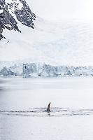 Humpback whales frolic and feed in Wilhelmina Bay, Antarctic Peninsula.