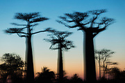 Avenue of the Baobabs, Morondava, Madagascar