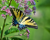 Eastern Tiger Swallowtail Butterfly on a Joe Pye Weed Bloom at the Sourland Mountain Preserve in New Jersey. Image taken with a Nikon D800 camera and 500 mm f/4 VR lens (ISO 250, 500 mm, f/5, 1/600 sec). Lens mounted on a monopod.