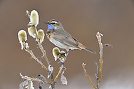 Bluethroat - Luscinia svecica