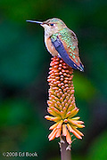 hummingbird sitting on the top of a red hot poker flower