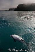Hector's dolphin, Cephalorhynchus hectori, breathing at surface, Endangered Species, endemic to New Zealand, Akaroa, Banks Peninsula, South Island, New Zealand ( South Pacific Ocean )