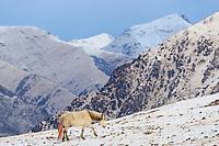 A domestic horse walking on the tibetan plateau of Serxu, Garze Prefecture, Sichuan Province, China