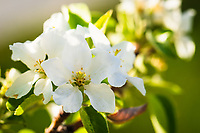 The flowering apple trees were in full bloom this week and it was an amazing sight to see!<br /> <br /> ©2018, Sean Phillips<br /> http://www.RiverwoodPhotography.com