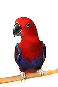 Cut out of a red and blue parrot perched on a branch On white Background