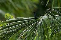 Asian Glossy Starling (Aplonis panayensis)