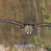 Great Gray Owl (Strix nebulosa) adult in flight, hunting. Manitoba, Canada