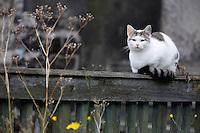 DOMESTIC CAT. (Felis catus)<br /> KRASNA LIPA. CESKE SVYCARSKO. CZECH REPUBLIC.