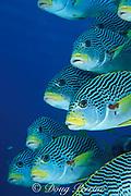 diagonal-banded sweetlips, Plectorhinchus lineatus, <br /> the Cod Hole, Ribbon Reefs, Great Barrier Reef, Australia,<br /> ( Western Pacific Ocean )