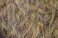 grasses where elk slept on Bethel Ridge of the Wenatchee National Forest, WA, USA