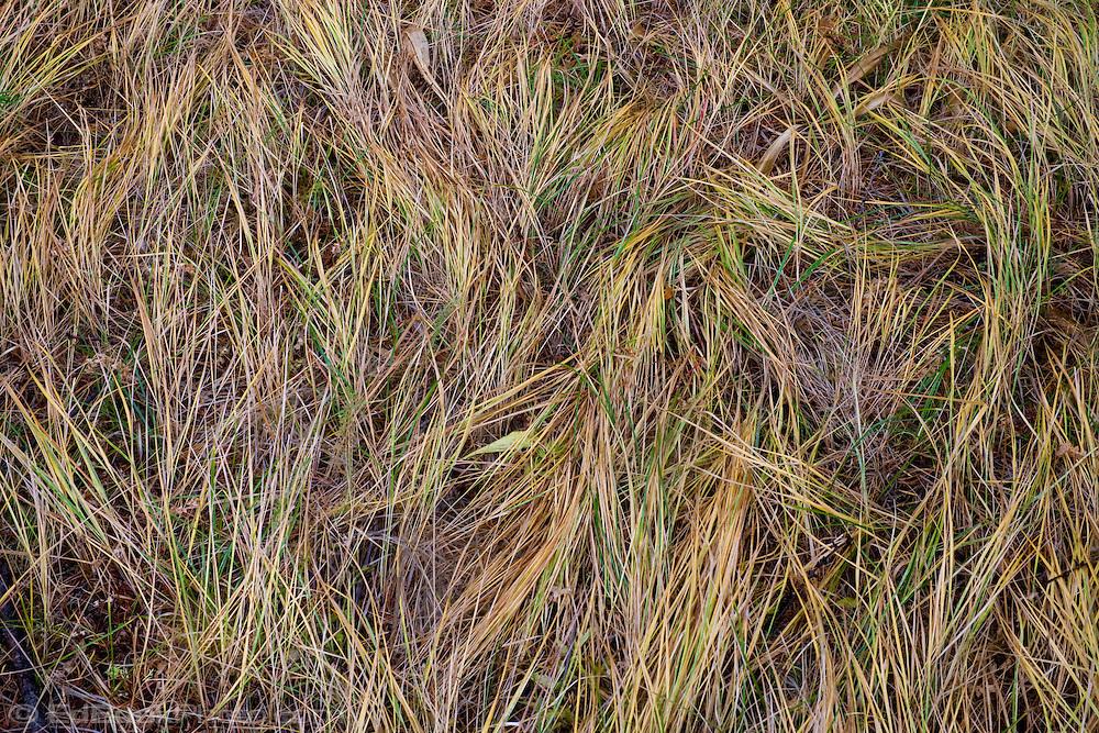 grasses where elk slept on Bethel Ridge of the Wenatchee National Forest, WA, USA
