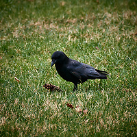 20180410-crows