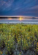 Goldfields on the Shore of Soda Lake at Sunset, Carrizo Plain National Monument, California