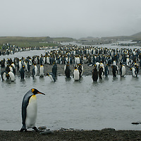 King Penguins line a river entering Saint Andrews Bay, South Georgia, Antarctica.