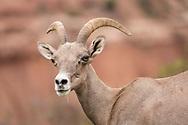 Bighorn sheep, Colorado National Monument, Colorado