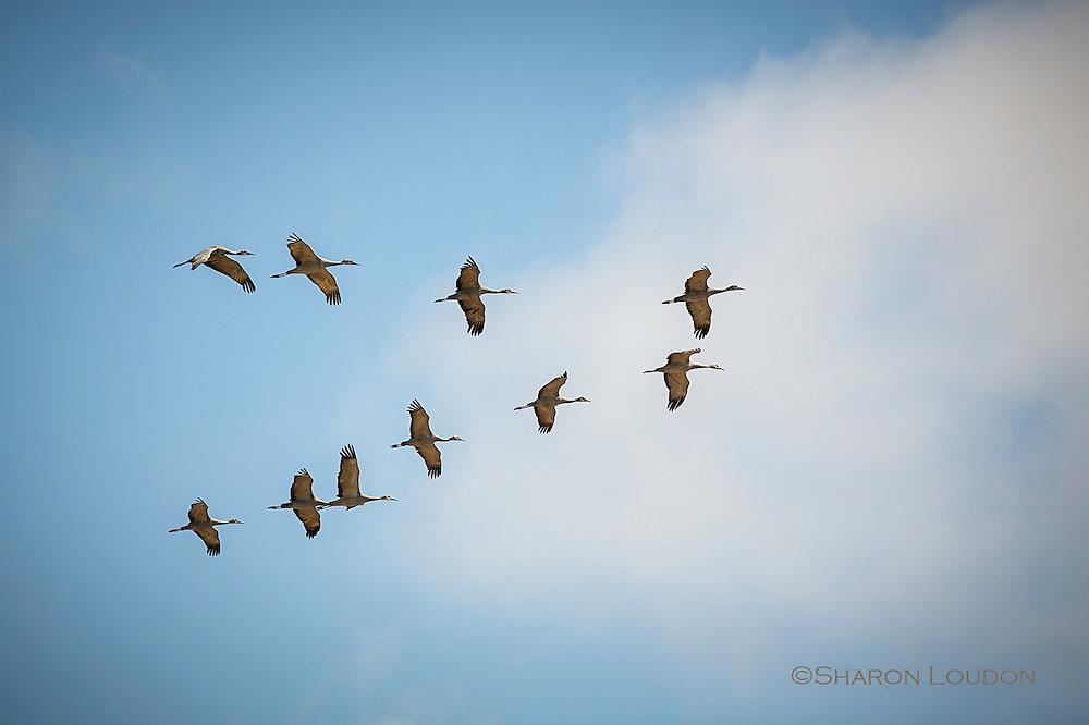 Sandhill Cranes fly in formation over rural Nebraska fields