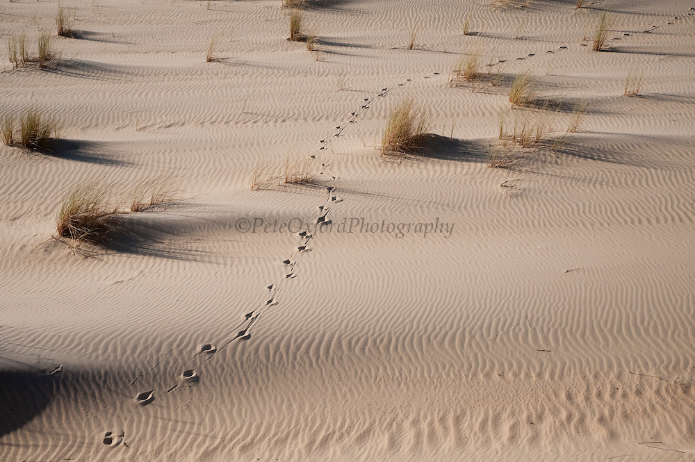 Sand Dune with Red Deer Tracks & Marram Grass (Ammophila arenaria)<br /> These are mobile sand dunes within the National Park. Initially formed on the beach the southwesterly winds pile up small mounds of sand around an obstacle or plant which as it accumulates becomes unstable and is progressively blown inland forming larger and larger dunes<br /> Doñana National & Natural Park. Huelva Province, Andalusia. SPAIN<br /> 1969 - Set up as a National Park<br /> 1981 - Biosphere Reserve<br /> 1982 - Wetland of International Importance, Ramsar<br /> 1985 - Special Protection Area for Birds<br /> 1994 - World Heritage Site, UNESCO.<br /> The marshlands in particular are a very important area for the migration, breeding and wintering of European and African birds. It is also an area of old cultures, traditions and human uses - most of which are still in existance.<br /> <br /> Mission: Iberian Lynx, May 2009<br /> © Pete Oxford / Wild Wonders of Europe<br /> Zaldumbide #506 y Toledo<br /> La Floresta, Quito. ECUADOR<br /> South America<br /> Tel: 593-2-2226958<br /> e-mail: pete@peteoxford.com<br /> www.peteoxford.com