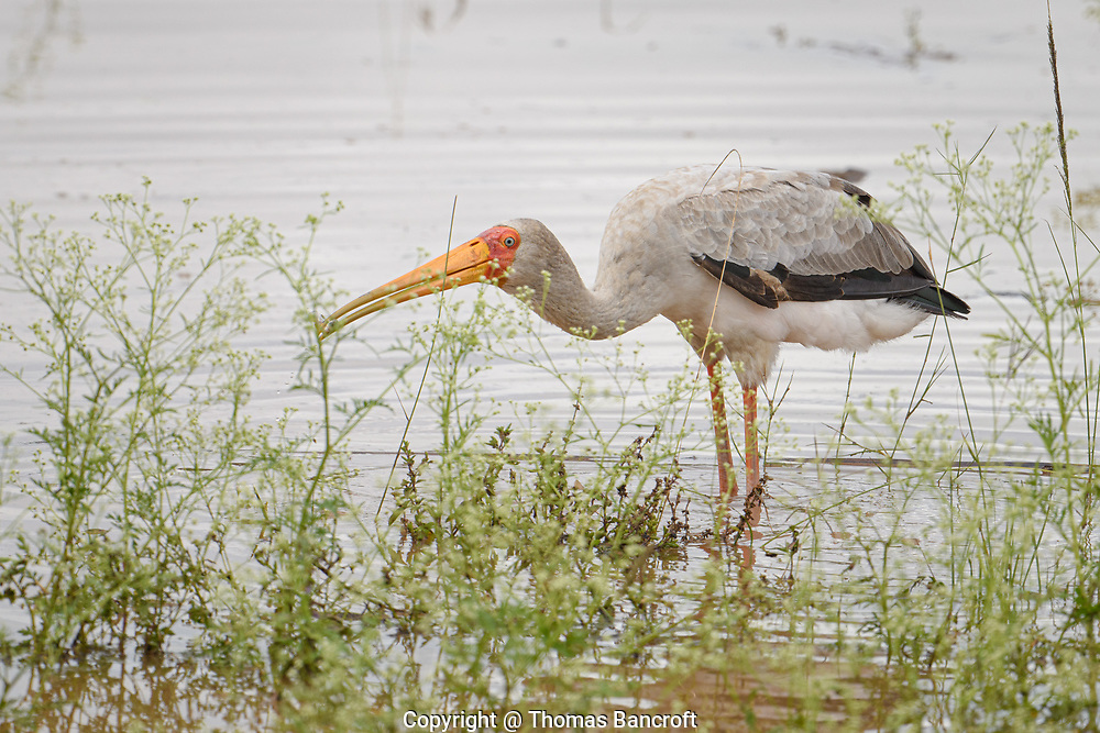A young Yellow-billed Stork raises its head from the water after capturing a small fish from a pond in Nairobi National Park.