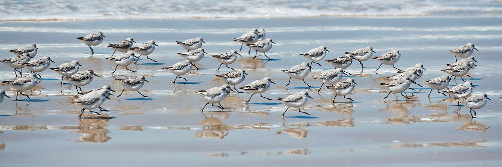 Plovers racing along the shore at Oceano Dunes, California