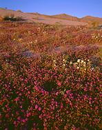 CADAB 114 - Evening light on desert sand verbena and dune evening primrose with the Santa Rosa Mountains rising in the distance, Anza-Borrego Desert State Park, California, USA
