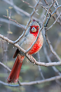 Pyrrhuloxia {Cardinalis sinuatus) male, perched on a branch, looking at the camera. Sonoran Desert, Tucson