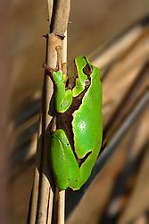 28.04.2008, Jastrebarsko, CRO, Crna Mlaka Vogelschutzgebiet, im Bild ein Europäische Laubfrosch // The European tree frog is a small tree frog found in Europe, hiding in the cane stalk at Jastrebarsko, Croatia on 2008/04/28. EXPA Pictures © 2016, PhotoCredit: EXPA/ Pixsell/ Goran Safarek/HaloPix<br /> <br /> *****ATTENTION - for AUT, SLO, SUI, SWE, ITA, FRA only*****