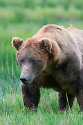A male Brown or Grizzly Bear, Lake Clark National Park, Alaska.