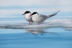 Arctic tern (Sterna paradisaea) in Storfjorden, Svalbard