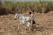 A local sugarcane worker arrives in the field with a horse and mule near Qurna, a village on the West Bank of Luxor, Nile Valley, Egypt. In Egypt, sugar cane juice is called aseer asab and is by far the most popular drink served by almost all fruit juice vendors, who are abundant in most cities. It is sold by roadside vendors, where the juice is squeezed fresh when ordered. Raw sugar cane juice can be a health risk to drinkers due to the unhygienic conditions under which it is prepared. There are some diseases that can be transmitted by raw sugar-cane like Leptospirosis