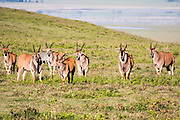 Herd of Common eland (Taurotragus oryx) Photographed in Ngorongoro Conservation Area (NCA) Tanzania