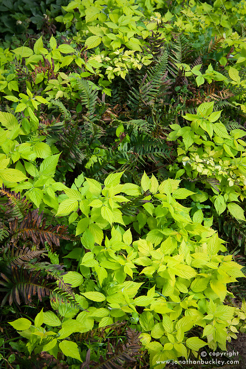 Rubus foliage with old fern foliage in light shade bed. Check i.d