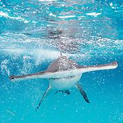 A great hammerhead shark (Sphyrna mokarran) comes right for the camera in Bimini, Bahamas.