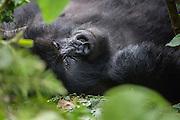 A mountain gorillas (Gorilla beringei beringei) laying down in the forest, Parc de Volcanos, Rwanda, Africa