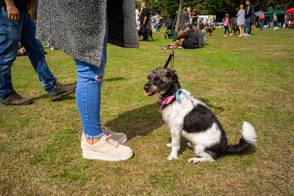 Female dog owner with small mongrel at Climping dog show.