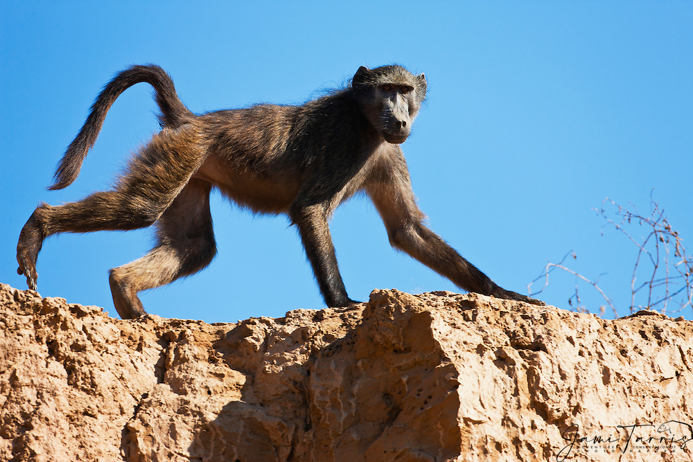 A dominant male chacma baboon (Papio ursinus) who live in the Namib desert, jumps on a rocky cliff, Skeleton Coast, Namibia