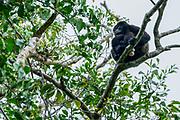 Male Golden-mantled howler (Alouatta palliata palliata) on a tree Photographed in Costa Rica