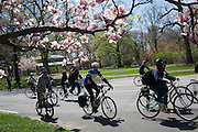 Families and friends of New Yorkers killed while bicycling on New York City streets ride through Prospect Park in Brooklyn, NY, on Sunday, April 21, 2013 as they participate in the 8th Annual Ghost Bike Memorial Ride. The ride visited the 20 white-painted Ghost Bikes installed at the scene of bicyclist fatalities in five boroughs before converging at the intersection of Queens Boulevard and Jackson Avenue to dedicate a memorial to all of the cyclists who were killed in traffic crashes in 2012 whose deaths did not make the news...According to the New York City Department of Transportation, 136 pedestrians and 18 bicyclists were killed in 2012. In 2011, 134 pedestrians and 22 bicyclists were killed on New York City streets. To date, at least two bicyclists have been killed in 2013...Photograph by Andrew Hinderaker for the Ghost Bike Project.