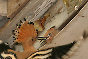 Hoopoe, Upupa epops, feeding a hatchling Israel, May 2005