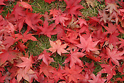 Japanese Red Maple Leaves (Acer palmatum). This common decorative tree drops its characteristic red leaves all at once usually during a hard rain in the fall.