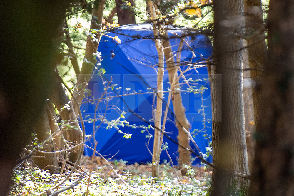 © Licensed to London News Pictures. 25/10/2020. Watlington Hill, UK. A forensic tent in woodland where the dead woman was located. A murder investigation has been launched by Thames Valley Police after the body of a woman in her sixties was located in woodland in the Watlington Hill National Trust Estate at approximately 5:53pm on Friday 23/10/2020. Photo credit: Peter Manning/LNP