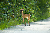 White-tailed buck photographed in the Fakahatchee Strand. These are often seen here and other places in and around the Everglades.