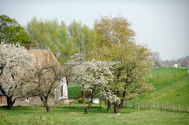 Nederland, Andelst, 13-4-2019Langs de dijk van de Waal staan bij een dijkhuis, boerderij, fruitbomen in bloei .Foto: Flip Franssen