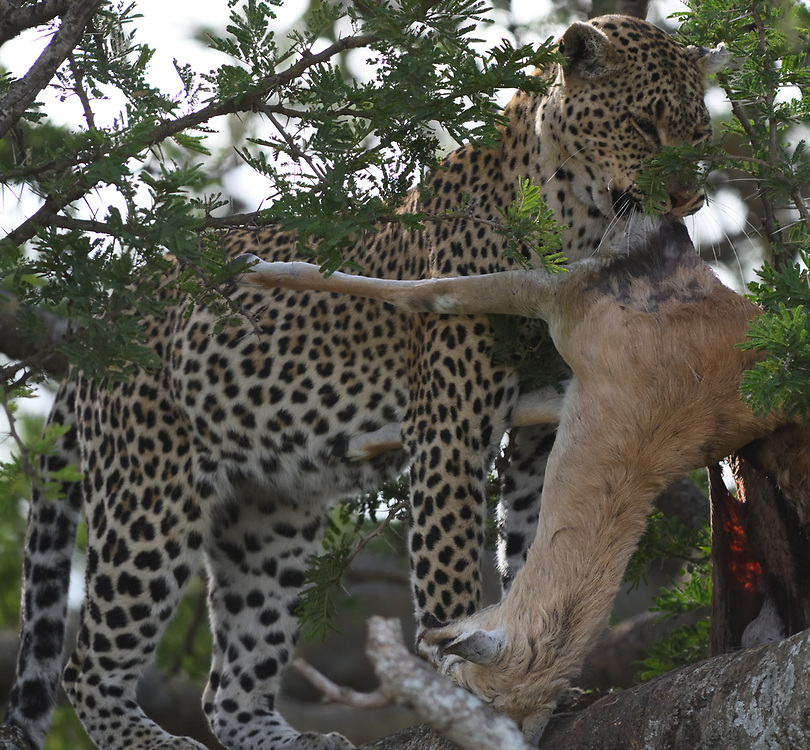 A leopard (Panthera pardus) in a tree with a Thomson's gazelle (Eudorcas thomsonii) that it has killed and carried up into the tree. Serengeti National Park, Tanzania.