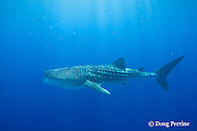 whale shark, Rhincodon typus, with mouth open, to feed on plankton, Kona Coast, Hawaii Island, ( the Big Island ), Hawaiian Islands, USA ( Central Pacific Ocean )