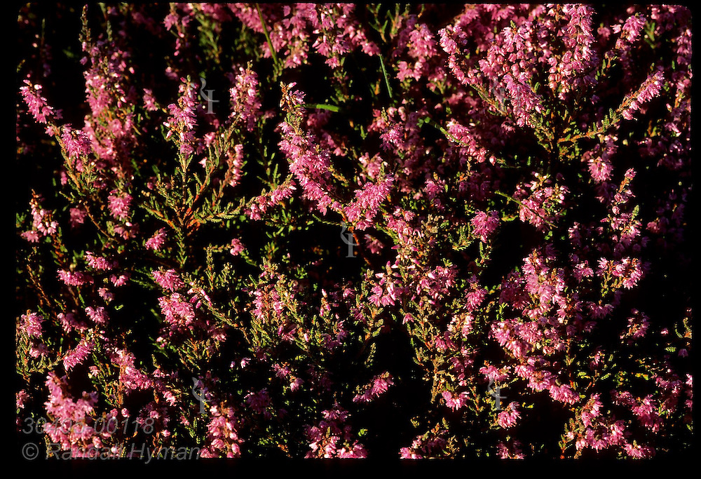 Purple heather blooms in early September at Culloden Moor where some 1500 troops died on April 16, 1746; Inverness, Scotland