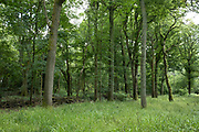 Trees in woodland at Bannams Wood on 20th June 2020 near Studley, United Kingdom. Bannams Wood is a small piece of ancient woodland, part of the original Wildwood which coverered the UK many thousands of years ago. British wildwood, or simply the wildwood, is the wholly natural landscape which developed across major parts of England after the last ice age. This woodland had not yet been affected by human intervention.