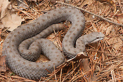 Twin-spotted Rattlesnake (Crotalus pricei)<br /> CAPTIVE<br /> USA<br /> RANGE: USA and MEXICO
