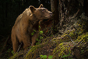 A light brown or blonde American black bear (Ursus americanus) in the Rogue River National Forest, Oregon.