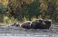 A brown bear sow, nurses her three spring cubs along the mouth of the Brooks River in Katmai National Park, Alaska